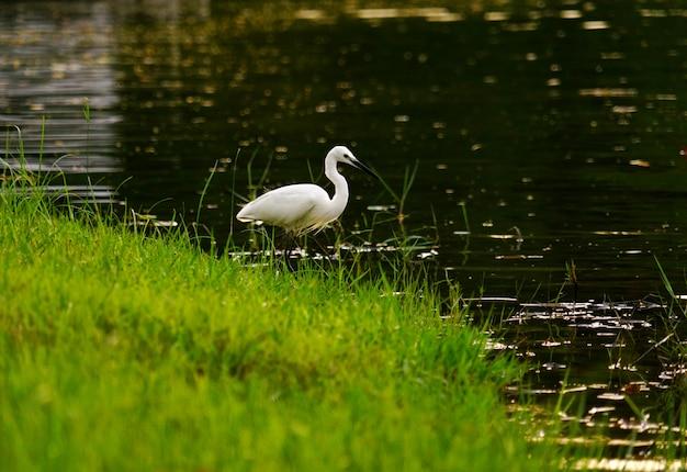 Grande egret nevado que está no beira-rio.