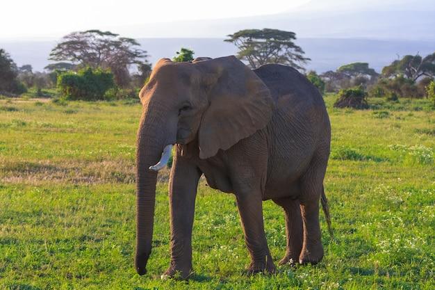 Grande elefante na savana quênia em amboseli, áfrica