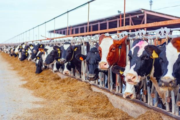 Grande estábulo com vacas leitosas na fazenda