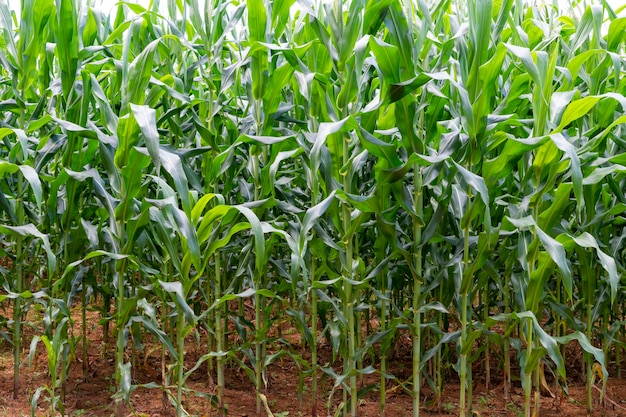 Grande fazenda de plantação de milho orgânico.
