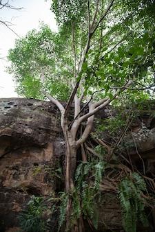 Grande figueira-da-índia com raízes na rocha nas florestas da tailândia.