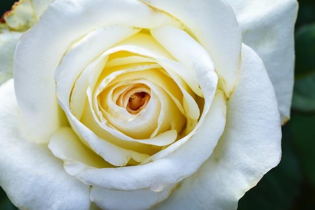 Grande flor branca selvagem rosa closeup