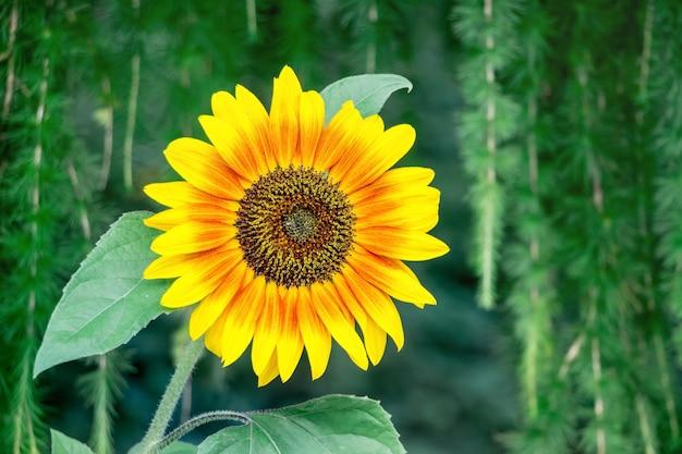 Grande flor de girassol brilhante em um fundo escuro em um dia claro de verão_