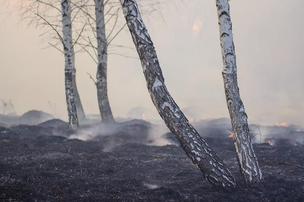 Grande floresta de bétulas cheias de fumaça e árvores carbonizadas e escurecidas após incêndio
