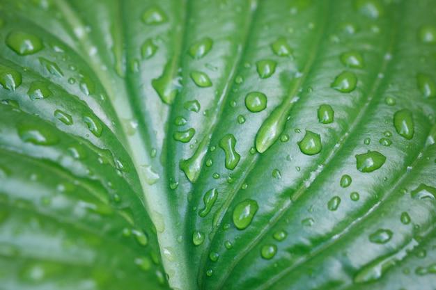 Grande folha com gotas da água. grandes gotas bonitas da água de chuva transparente em um macro verde da folha. textura de folha bonita na natureza. fundo natural.