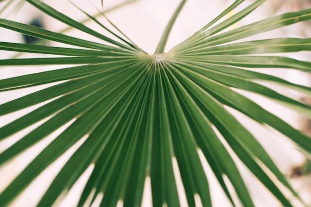 Grande folha de palmeira verde da família menor sabal. fundo tropical natural, close up.