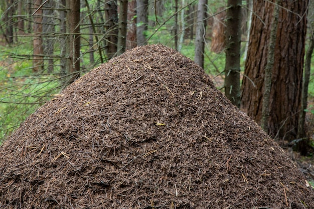Grande formigueiro na floresta. enorme casa de formigas na floresta de outono