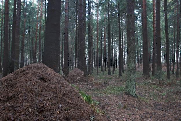 Grande formigueiro no meio da floresta de abetos de outono.