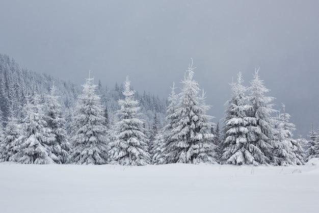 Grande foto de inverno nas montanhas dos cárpatos, com pinheiros cobertos de neve. c