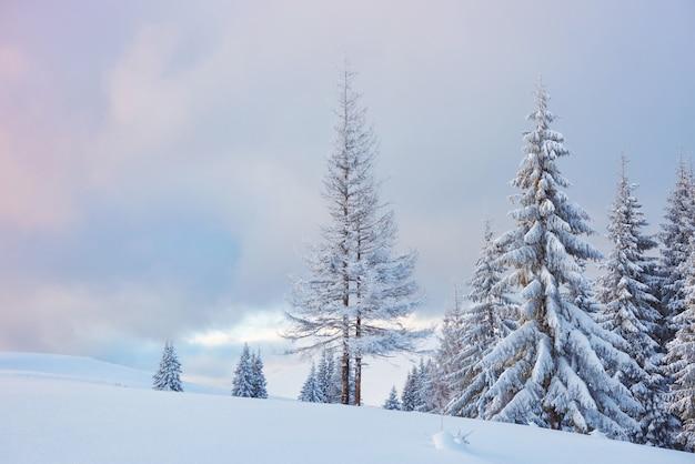 Grande foto de inverno nas montanhas dos cárpatos, com pinheiros cobertos de neve.