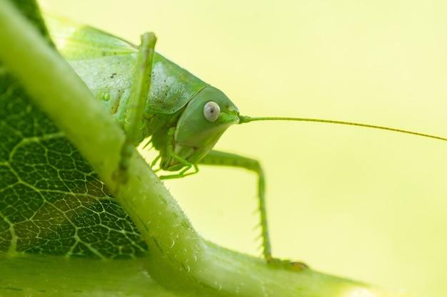 Grande gafanhoto do pântano (stethophyma grossum), uma espécie de inseto ameaçada típica de prados úmidos e pântanos