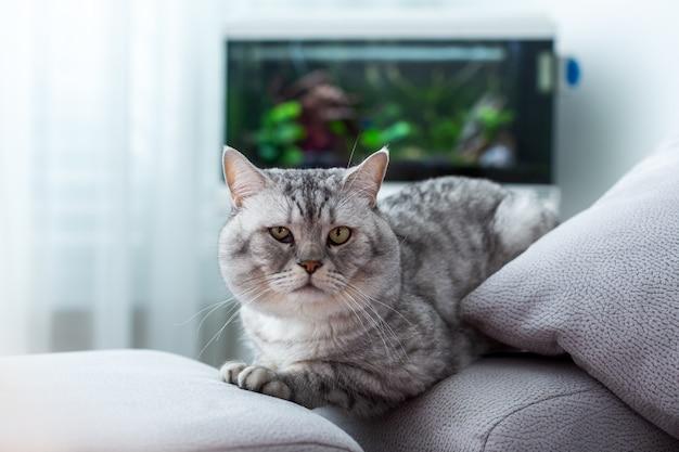 Grande gato britânico com olhos verdes, descansando em um sofá