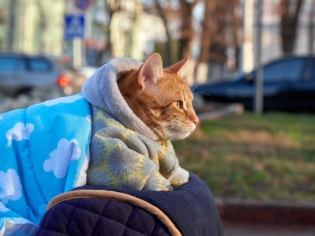 Grande gato vermelho no cobertor e macacão quente sentado lá fora e olhando de lado