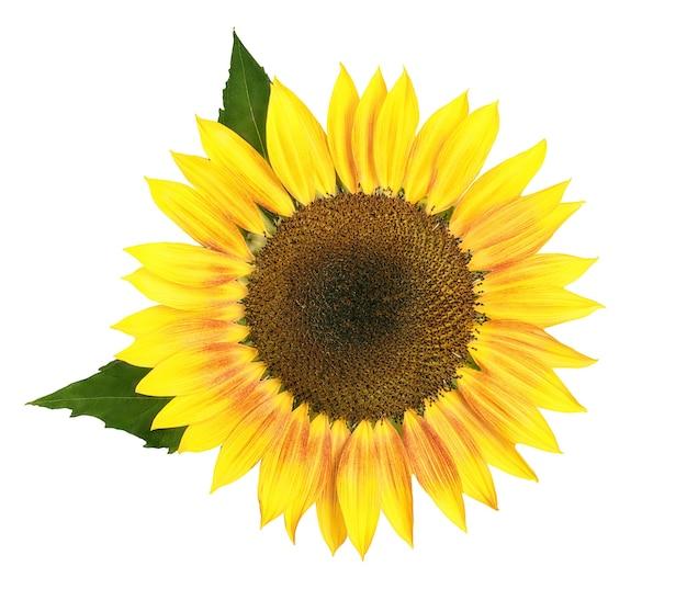 Grande girassol amarelo com folhas verdes