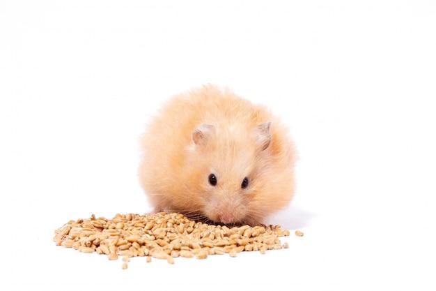 Grande hamster vermelho macio come grãos, isolar