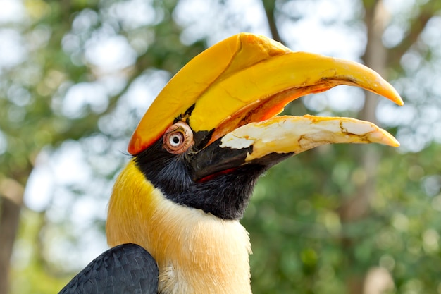 Grande, hornbill, grande, indian hornbill, grande, pied hornbill, pássaro, de, tailandia