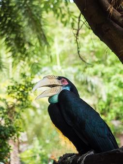 Grande, hornbill, grande, indianas hornbill, grande, pied hornbill, em, floresta tropical