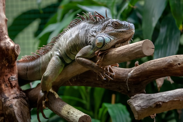 Grande iguana deitada de barriga no galho com grandes agulhas na crina e olhos abertos