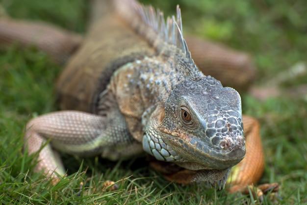 Grande iguana vermelha caminhando na grama