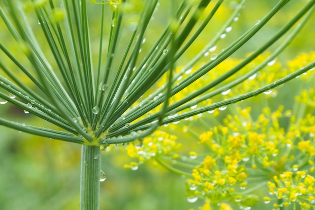Grande inflorescência de endro em gotículas após a chuva no fundo do jardim