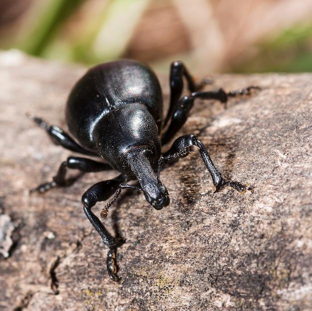 Grande inseto o besouro da casca em um velho tronco em um habitat nativo