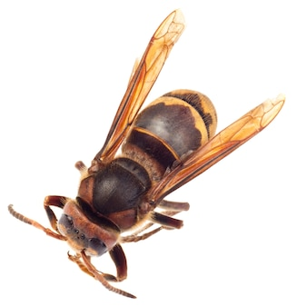Grande inseto vespa isolado