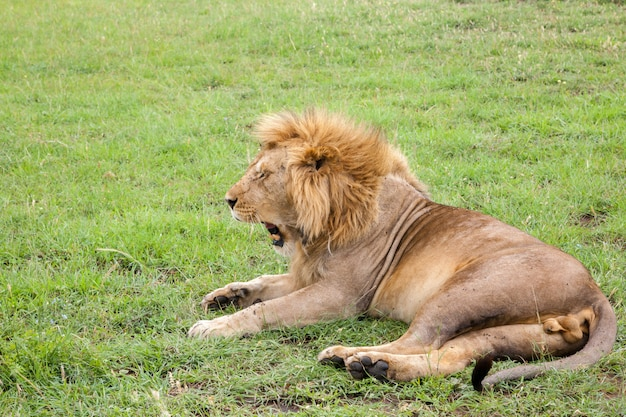 Grande leão boceja deitado em um pasto com grama