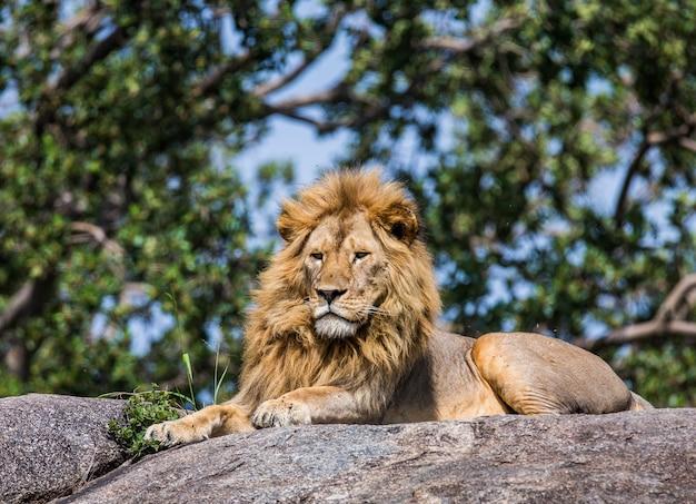 Grande leão macho em uma grande rocha.