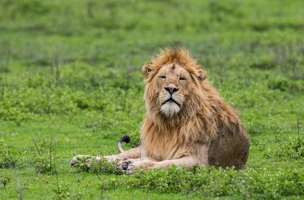 Grande leão macho está deitado na grama.