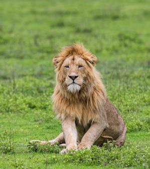 Grande leão na grama.
