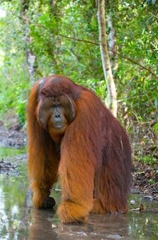 Grande macho dominante está de pé nas patas traseiras na selva. indonésia. a ilha de kalimantan (bornéu).