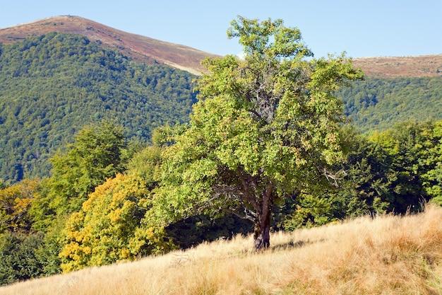 Grande macieira selvagem na montanha de outono (montanhas dos cárpatos, ucrânia)