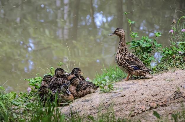 Grande mãe pato com uma ninhada de patinhos na margem do lago