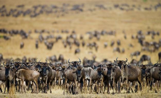 Grande manada de gnus na savana
