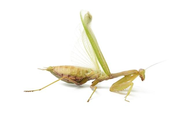 Grande mantis verde abrindo suas asas