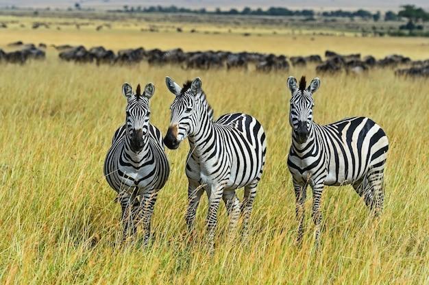 Grande migração de zebra em masai mara