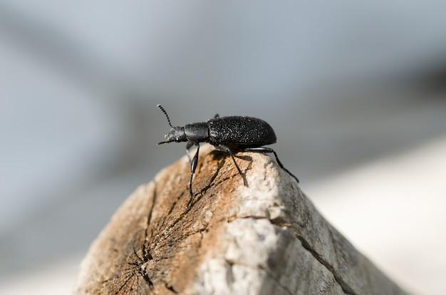 Grande moedor de pragas de besouro sentado em um tronco de madeira no jardim