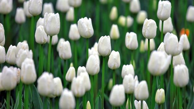 Grande número de crescimento de tulipas brancas. botânica de flores