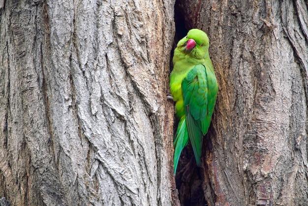 Grande papagaio verde em uma depressão