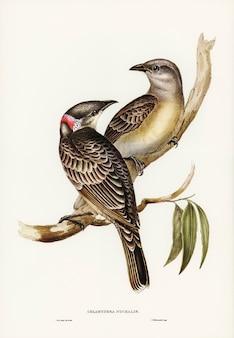 Grande pássaro bower (chlamydera nuchalis) ilustrado por elizabeth gould