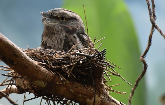 Grande pássaro da boca-de-rã aninhando-se em uma cama de gravetos.