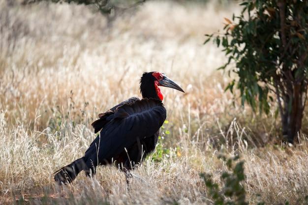 Grande pássaro preto com uma cara vermelha na grama