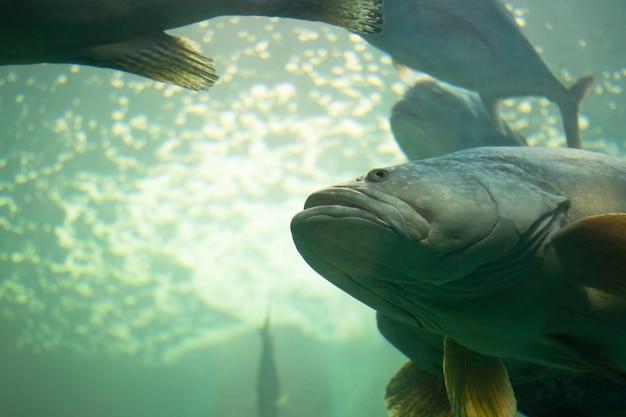 Grande peixe atlântico com vida subaquática. polyprion americanus, wreckfish Foto Premium