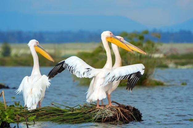 Grande pelicano branco em lago na savana
