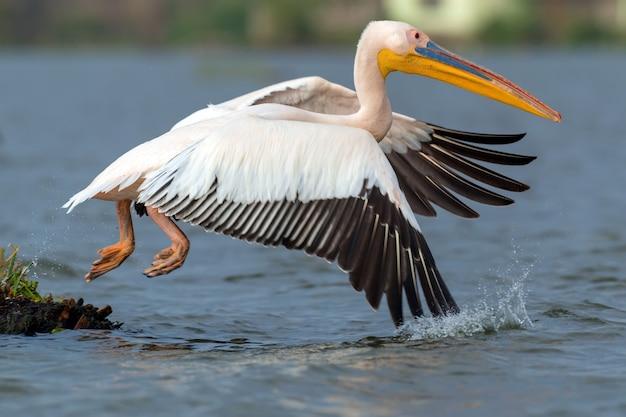 Grande pelicano branco no lago, quênia, áfrica