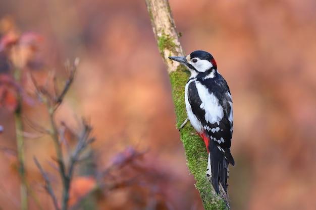 Grande pica-pau-malhado com bela cor de plumagem descansando na floresta.