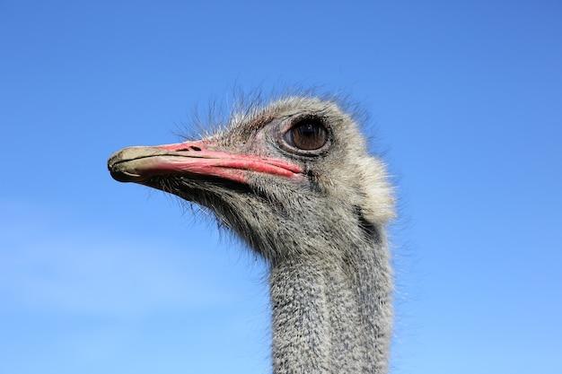 Grande plano de cabeça de avestruz no céu