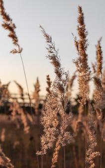 Grande plano de grama dos pampas ao ar livre com raios de sol de fundo mínimo natural com panículas de plantas secas