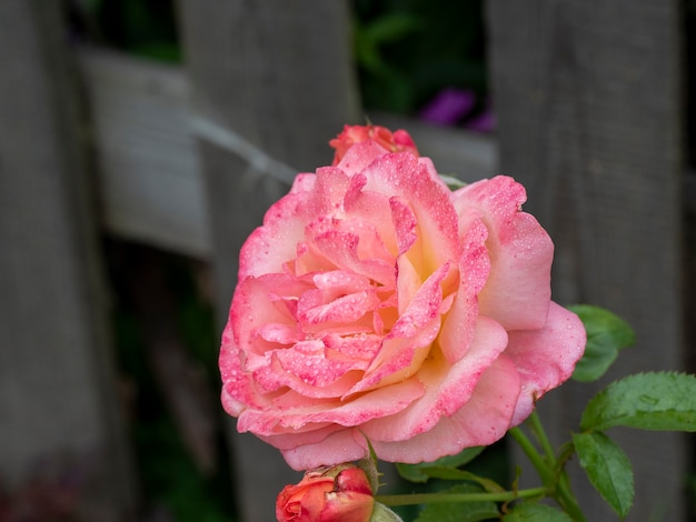 Grande plano de rosa selvagem com gotas de água nas pétalas depois da chuva