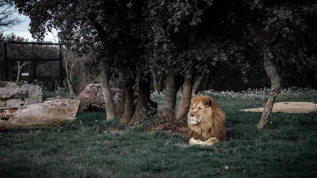 Grande plano de um leão deitado em um gramado perto de uma árvore